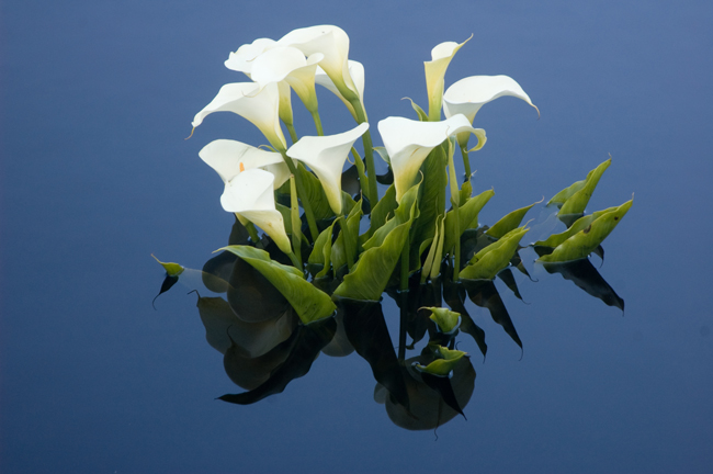 Calla Lilies in the Kelley House Pond