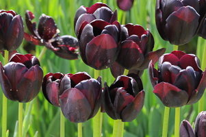 Tulips at Wooden Shoe Tulip Farm