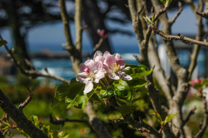 Apple Blossoms at Agate Cove Inn, Mendocino