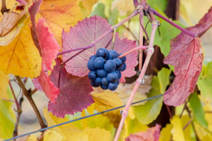 Fall Grapes at Goldeneye Vineyard, Mendocino County