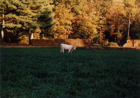 Fall Cow, Massachusetts