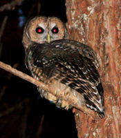 I saw this Spotted Owl in the forested part of my yard in Mendocino.