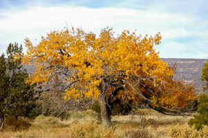 Fall Tree, New Mexico
