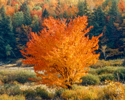 Flaming Tree, Vermont